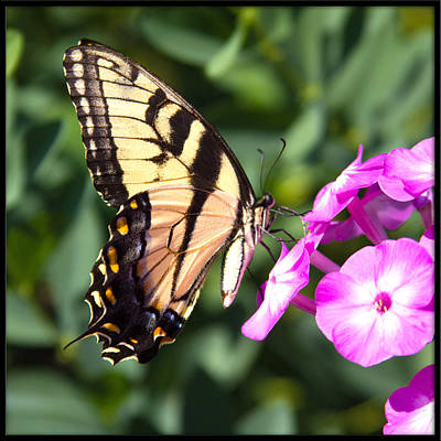 Photograph - Tiger Swallowtail by Heidi Hermes