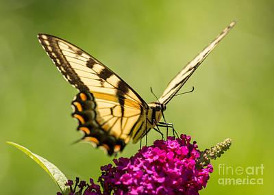 Tiger Swallowtail Art Print by Iris Richardson