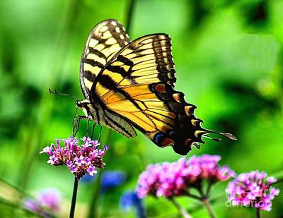 Royalty-Free and Rights-Managed Images - Tiger Swallowtail by Nick Zelinsky