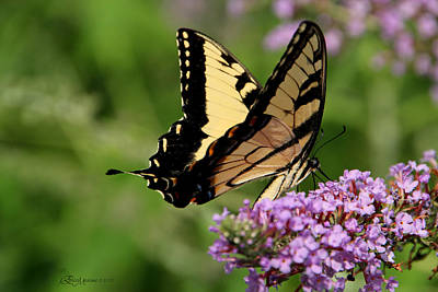 Tiger Swallowtail On Butterfly Bush 2 - Featured In 'comfortable Art' And 'flower W Co' Macro Groups Art Print by EricaMaxine  Price
