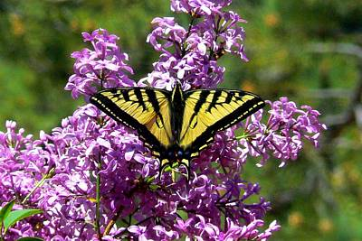 Photograph - Tiger Swallowtail On Lilac by Marilyn Burton