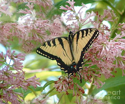 Photograph - Tiger Swallowtail On Lilacs by Marilyn Smith