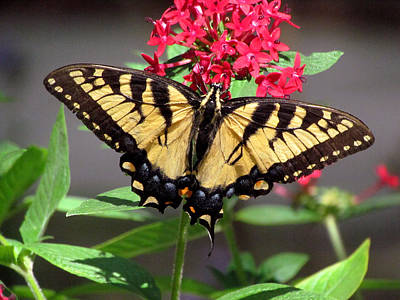 Photograph - Tiger Swallowtail On Pentas by Judy Wanamaker