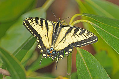Photograph - Tiger Swallowtail On Rhododendron by Alan Lenk