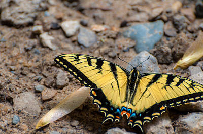 Photograph - Tiger Swallowtail On Rocks by Gene Sherrill