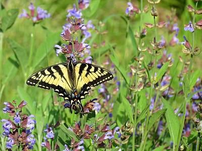 Photograph - Tiger Swallowtail On Sage Flowers by MTBobbins Photography