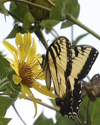 Photograph - Tiger Swallowtail by Phyllis Peterson