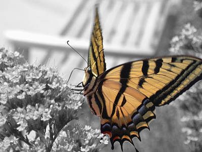 Photograph - Tiger Swallowtail by Shane Bechler