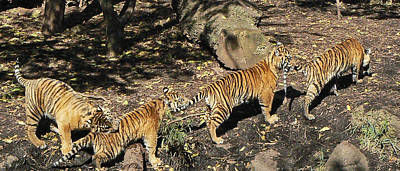 Photograph - Tiger Tails by Margaret Saheed