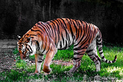 Photograph - Tiger Tale by Lucy VanSwearingen