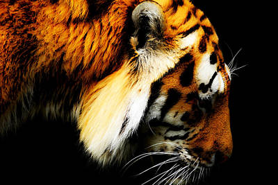 Stripes Mixed Media - Tiger  Thinking by Tommytechno Sweden
