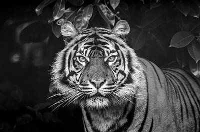 Photograph - Tiger Tiger by Darren Wilkes