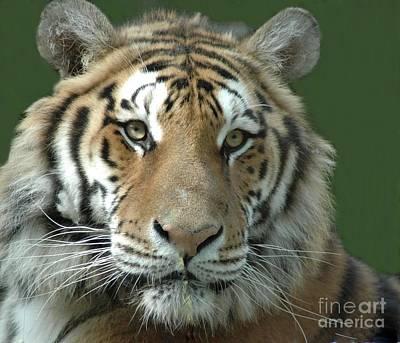 Tiger Tiger Art Print by Kathleen Struckle