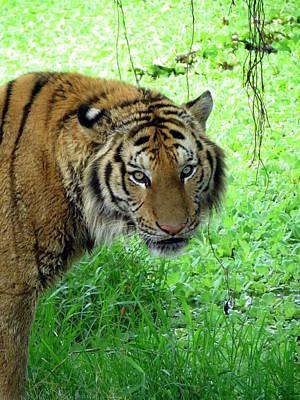 Photograph - Tiger Tiger by Ramona Johnston