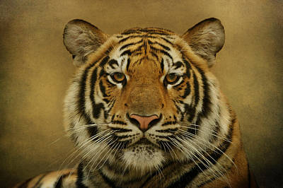 Photograph - Tiger Tiger by Sandy Keeton