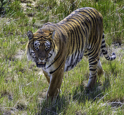 Photograph - Tiger by Tom Wilbert