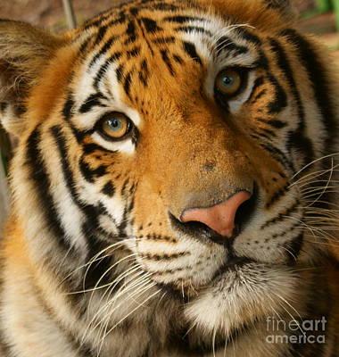 Tiger1a Art Print by D C