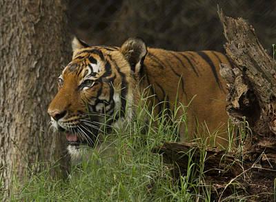 Photograph - Tiger2 by Marty Maynard