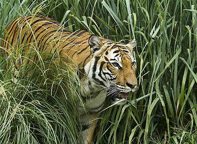 Photograph - Tiger4 by Marty Maynard