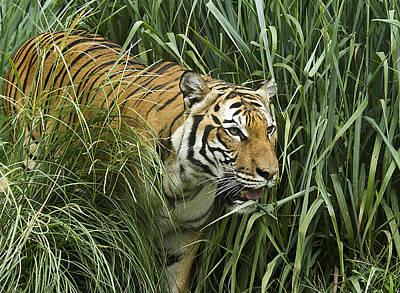 Photograph - Tiger4 by Marty Maynard