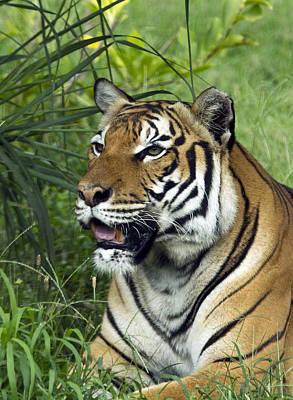 Photograph - Tiger5 by Marty Maynard