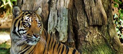 Photograph - Tiger's Eyes by Jean Goodwin Brooks