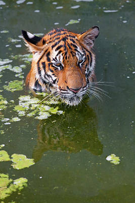 Adam Photograph - Tigers Playing In Water, Indochinese by Peter Adams