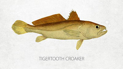 Fish Species Digital Art - Tigertooth Croaker by Aged Pixel