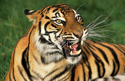 Tigre De Sumatra Panthera Tigris Art Print by Gerard Lacz