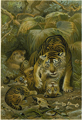 Cubs Drawing - Tigress And Cubs by English School