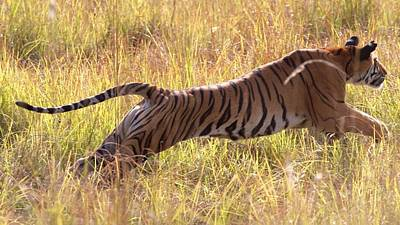 Photograph - Tigress Pounce by David Beebe
