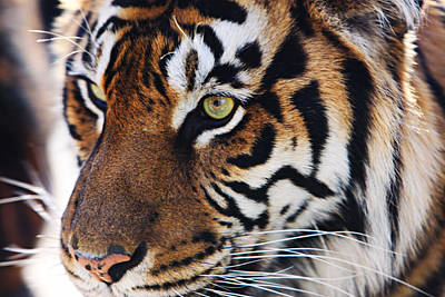 Tigress Three Art Print