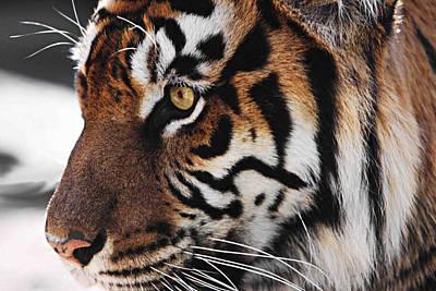 Tigress Digital Art - Tigress Two by Kandy Hurley
