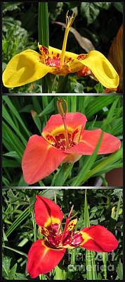 Photograph - Tigridia Pavonia by J McCombie
