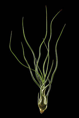 Epiphyte Photograph - Tillandsia Butzii Plant by Gilles Mermet
