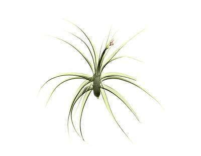 Tillandsia Plant Art Print by Albert Koetsier X-ray