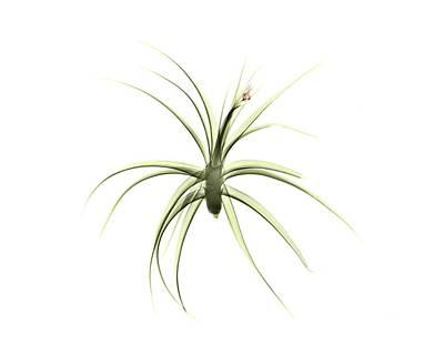 Bromeliad Photograph - Tillandsia Plant by Albert Koetsier X-ray