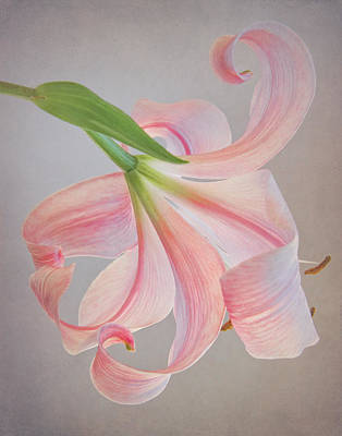 Asiatic Lily Photograph - Tilt A Whirl by David and Carol Kelly
