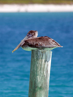 Photograph - Tilted Pelican by Mary Haber