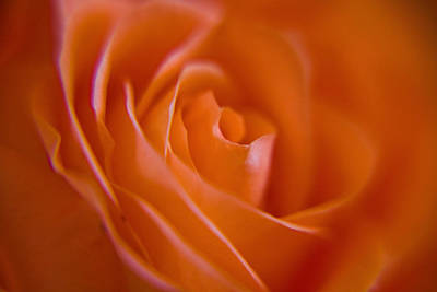 Tilted Rose Art Print by Kim Lagerhem