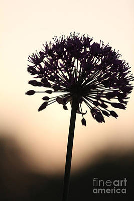 Tilted Silhouette Allium Art Print