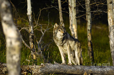 Wolf Photograph - Timber Ghost Wolf by Wildlife Fine Art