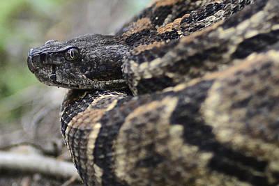 Timber Rattler Photograph - Timber Rattler - Rattlesnake In North Carolina by Matt Plyler