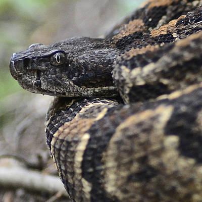 Timber Rattler Photograph - Timber Rattler Square Format - Rattlesnake In North Carolina by Matt Plyler