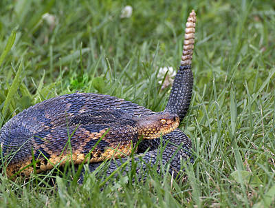 Timber Rattler Photograph - Timber Rattlesnake by Joe Granita