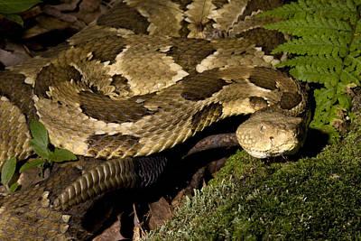 Timber Rattler Photograph - Timber Rattlesnake by Paul Whitten