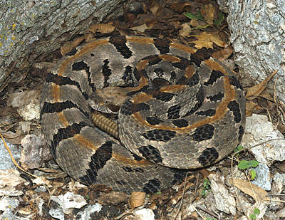 Timber Rattler Photograph - Timber Rattlesnake by Suzanne L. Collins