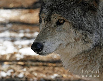 Timber Wolf Alert Art Print by Inspired Nature Photography Fine Art Photography