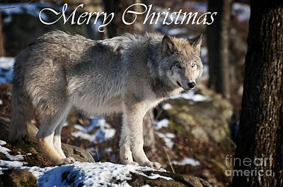 Photograph - Timber Wolf Christmas Card 1 by Michael Cummings