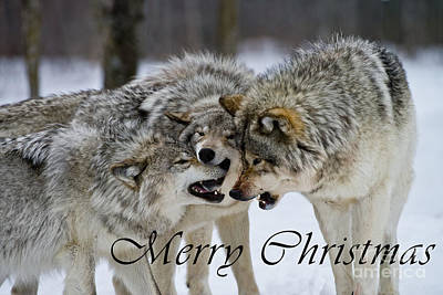 Photograph - Timber Wolf Christmas Card 13 by Wolves Only